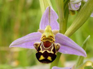 orquídea sorridente
