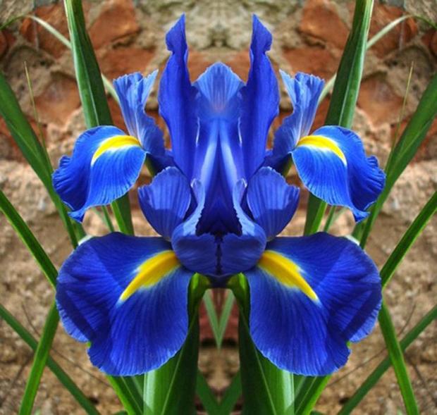 orquídea azul e amarela