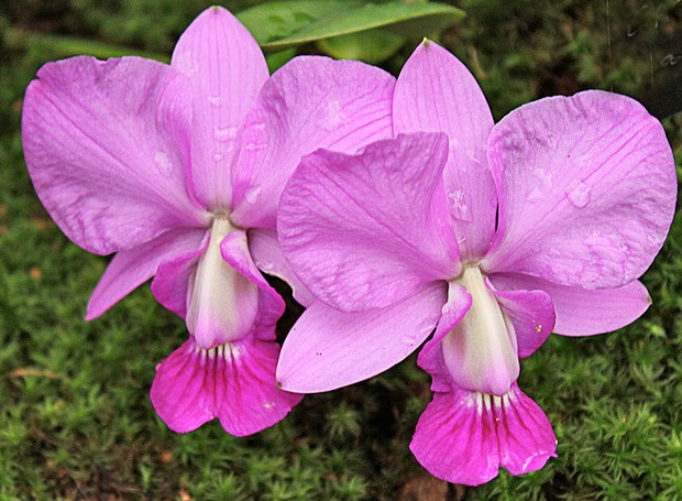 orquídea lilas