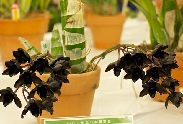 orquídea preta