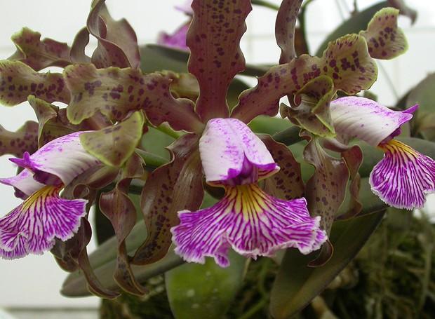 orquídea roxinha