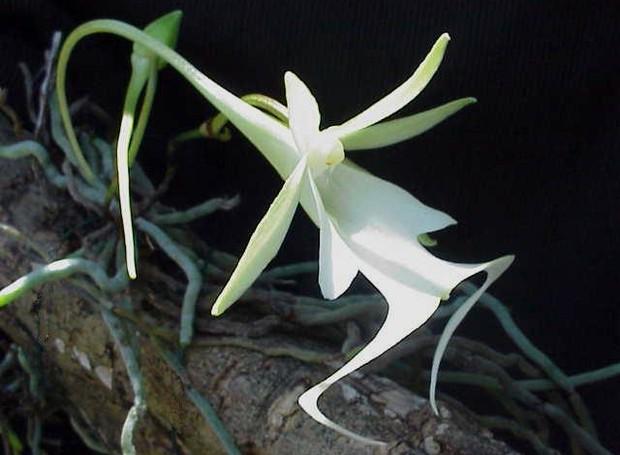 orquídea grilo