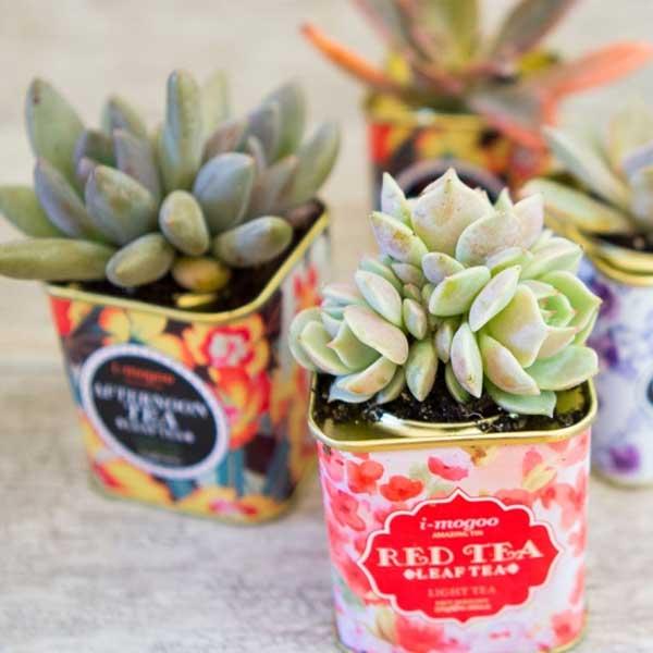 Suculentas para presentear plantadas na latinha decorativa